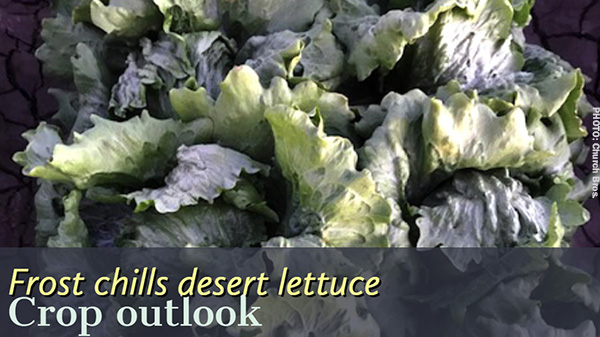 Celery Lettuce Growers Overcome Cold Mornings In The