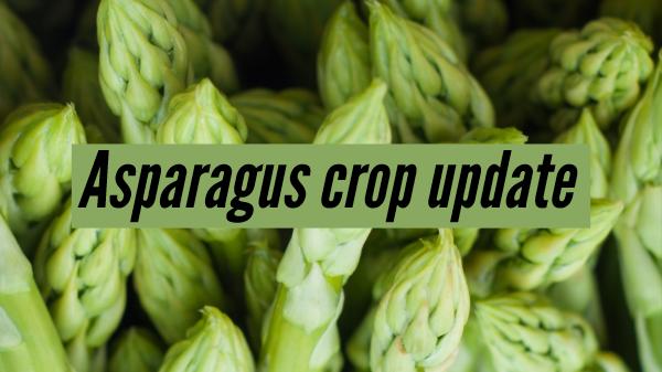 Rising volumes should cool off hot asparagus market