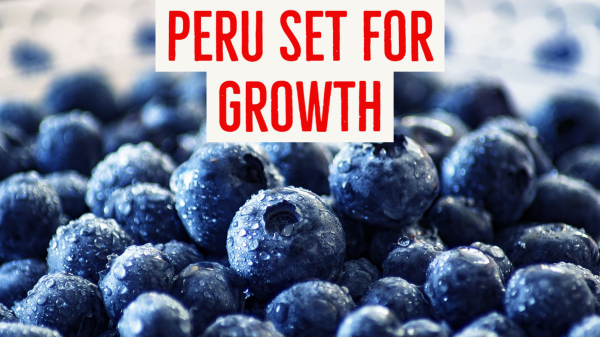 Peru plans to double exports of organic blueberries ...